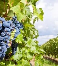 Changement climatique : un plan d'adaptation présenté par la filière viticole